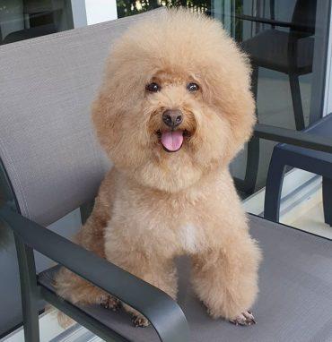 Golden Bichon Poodle Mix on a chiar