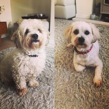 Before and after photo of a groomed Shichon