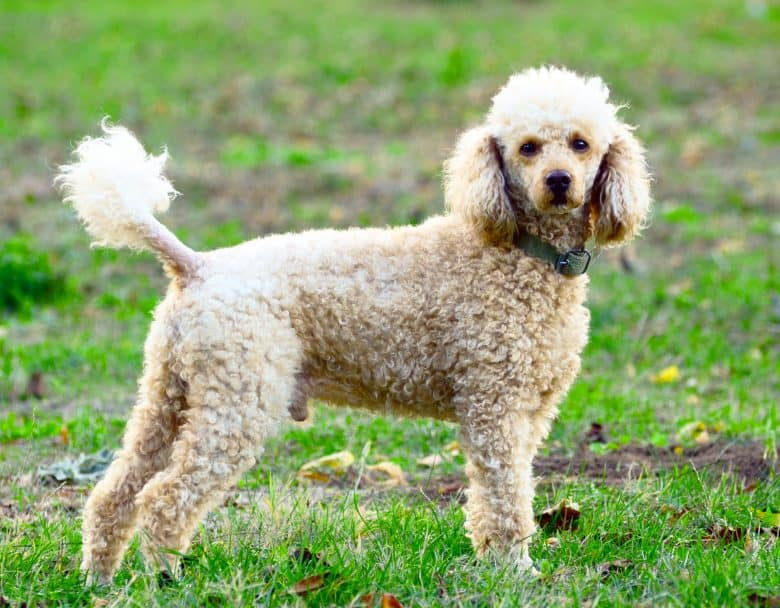 Poodle dog standing on the field