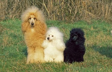 Three Poodle dogs with different coat colors
