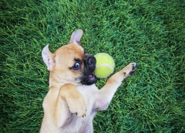 pug chihuahua mix puppy playing with a ball