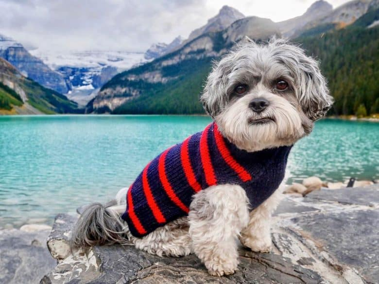 A full-grown Shichon wearing a sweater while traveling with its owner