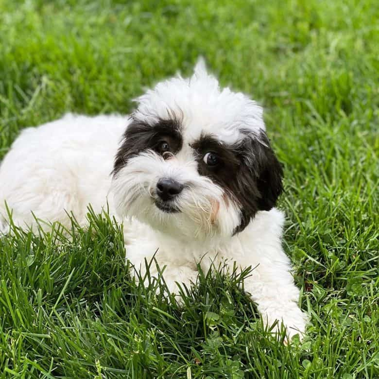 A Shichon puppy laying on the grass while posing for the camera