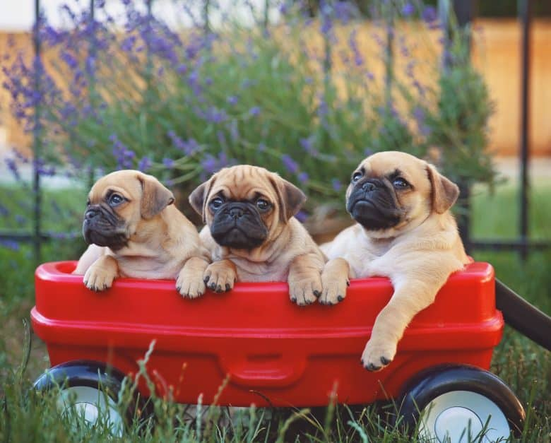 Three Chugs in a red wagon