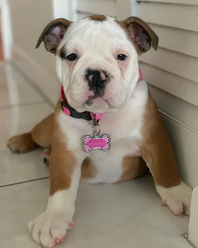 Khaleesi, the Victorian Bulldog puppy