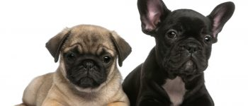 Mixing a Pug and a French Bulldog creates a Frug dog