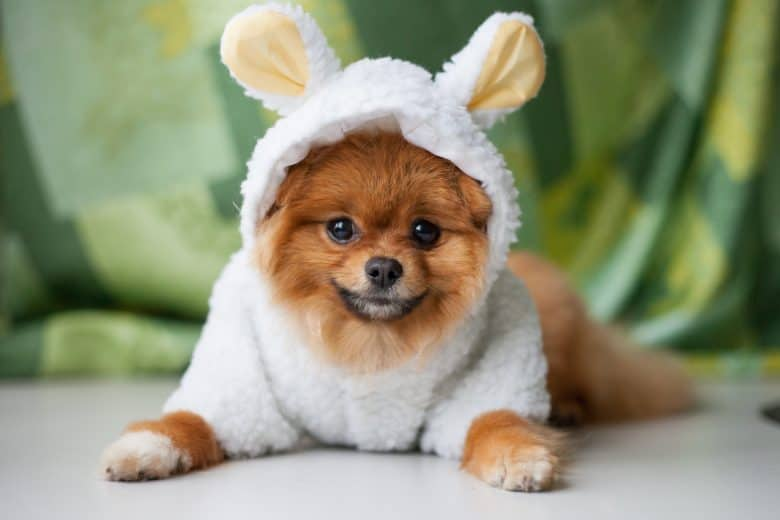 Pomeranian puppy dressed as a lamb