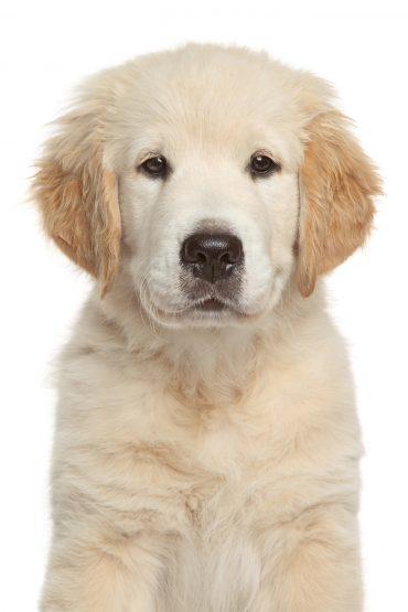 Golden Retriever puppy 3 month