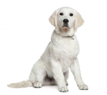 Golden Retriever puppy, 5 months old