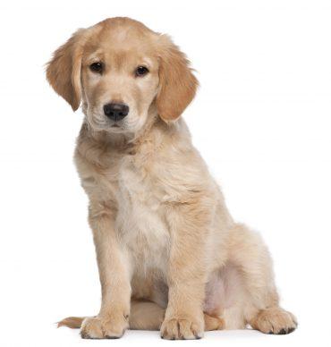 Golden Retriever puppy, 2 months old,