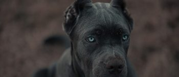 Get to know American Bandogge