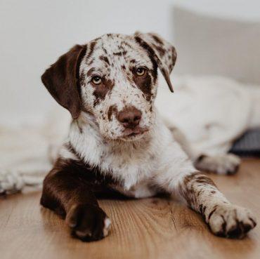 Aussiedor Dog