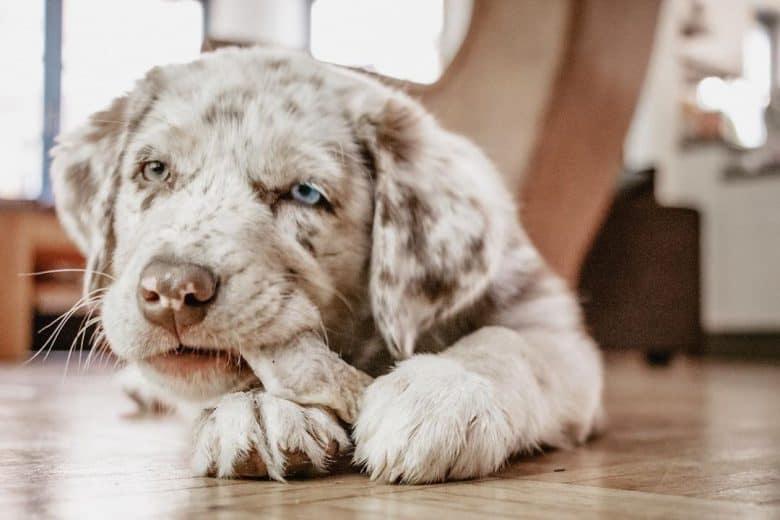 Australian Shepherd Labrador Mix