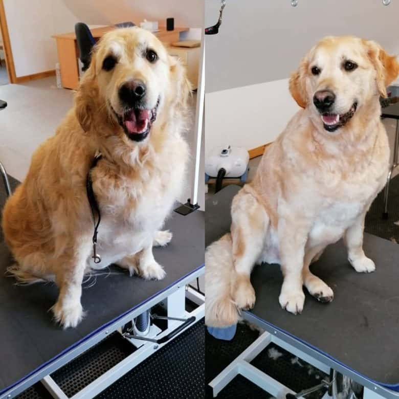 Picture of Brodie - the Golden Retriever before and after the haircut