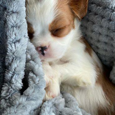 Meet Coder, the Beaglier puppy