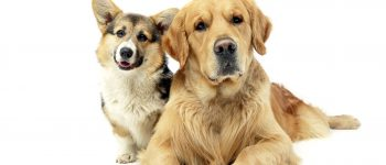 The Corgi and Golden Retriever