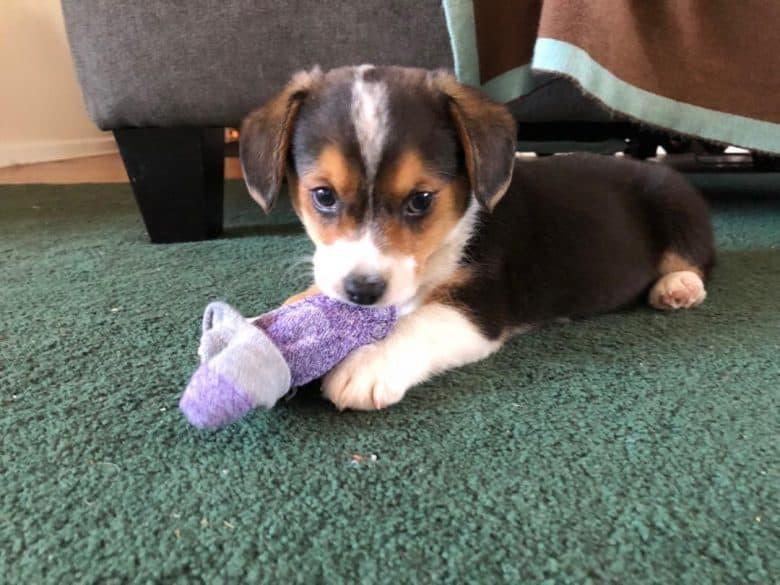 Corgi Beagle Mix Puppy