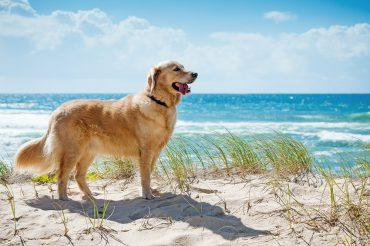 Golden Retriever Dog on a Beach