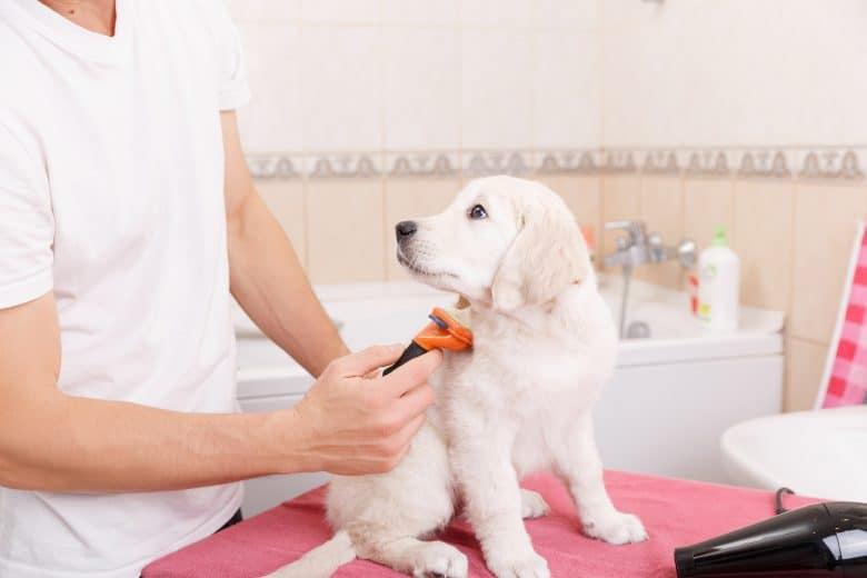 Grooming a Golden Retriever puppy