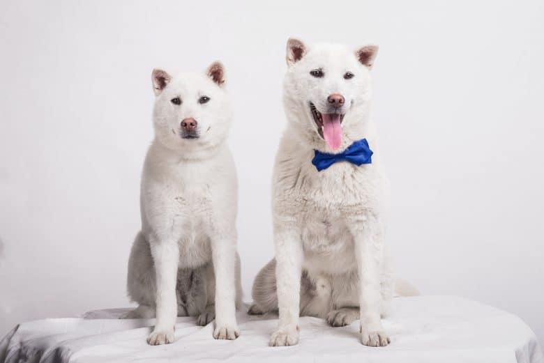 Kishu Ken Dogs