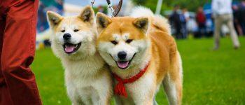Most Popular Japanese Dog Breeds