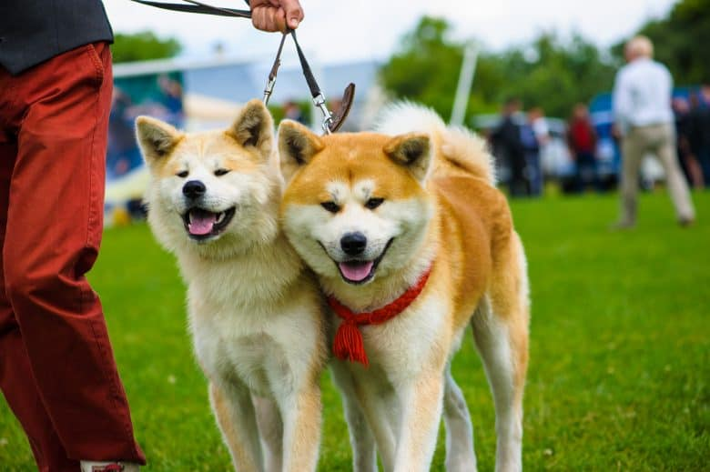 Most Popular Japanese Dog Breeds