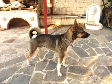 Sanshu Japanese middle size dog