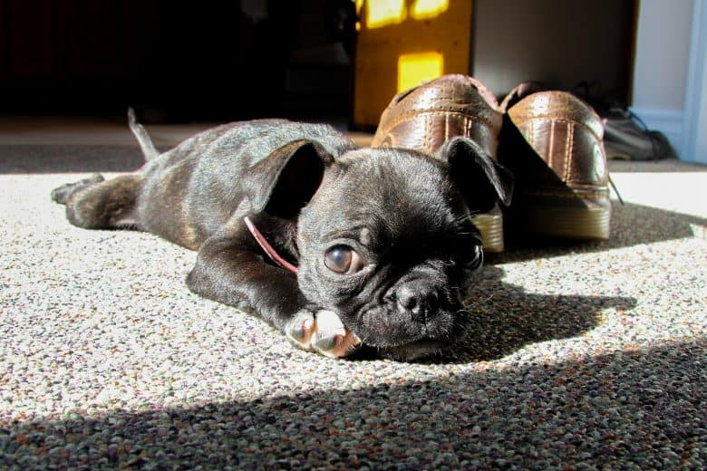 A cute Boston Terrier Pug mix puppy laying on the floor