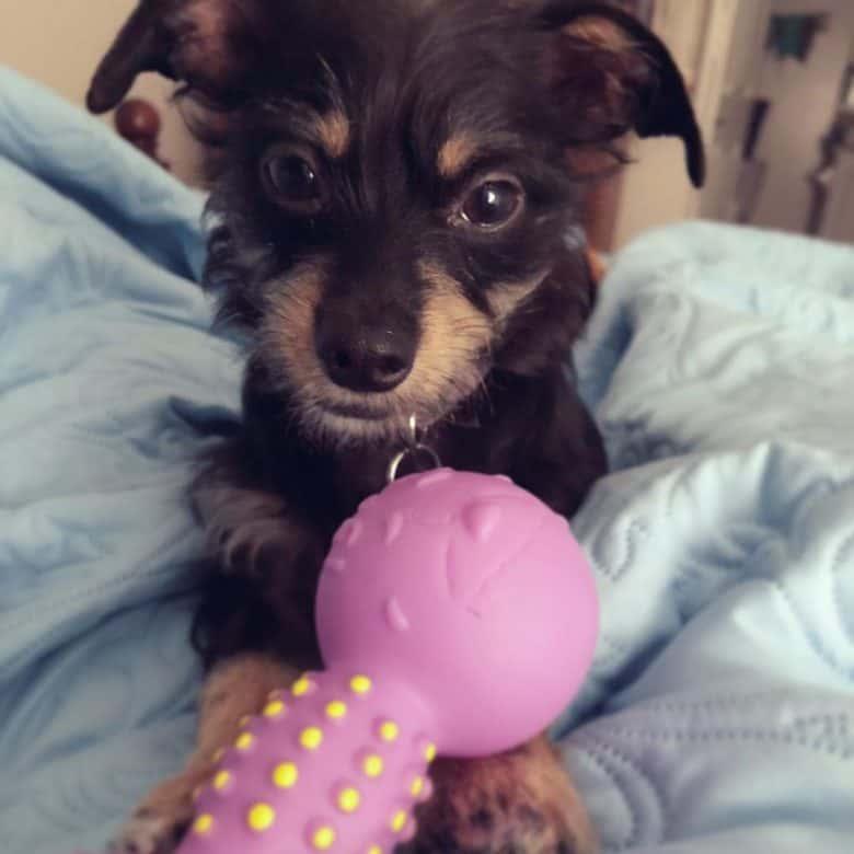 An adorable Dachshund Yorkie mix puppy