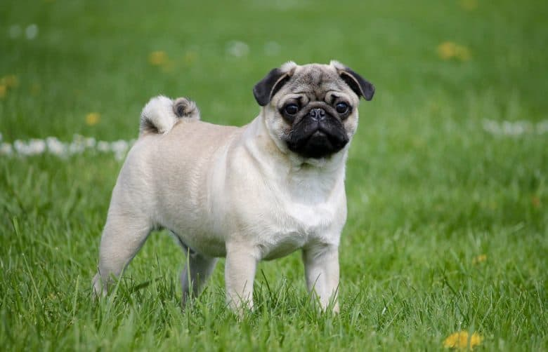 A full-grown Pug spending time outdoors