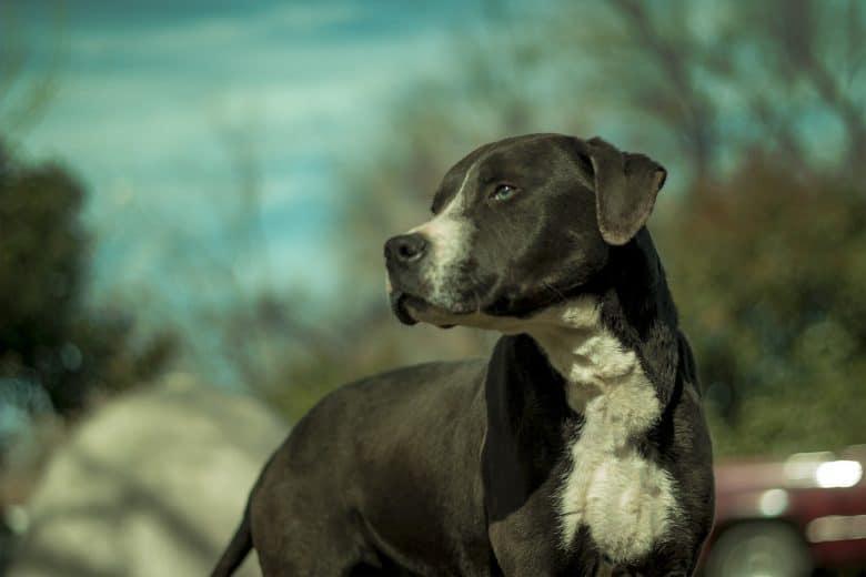 Meet the Rottweiler Pitbull mix