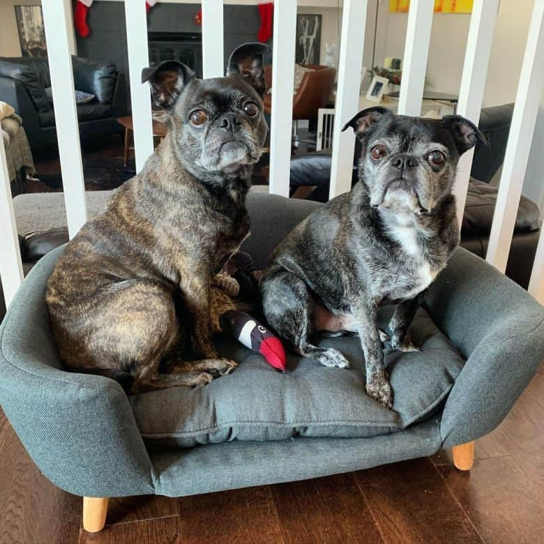 Boston Terrier Pug mixes sharing a fancy dog bed