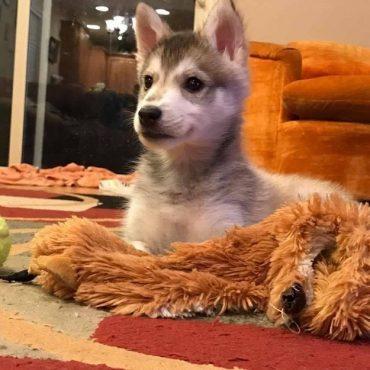 Adorable Miniature Husky puppy