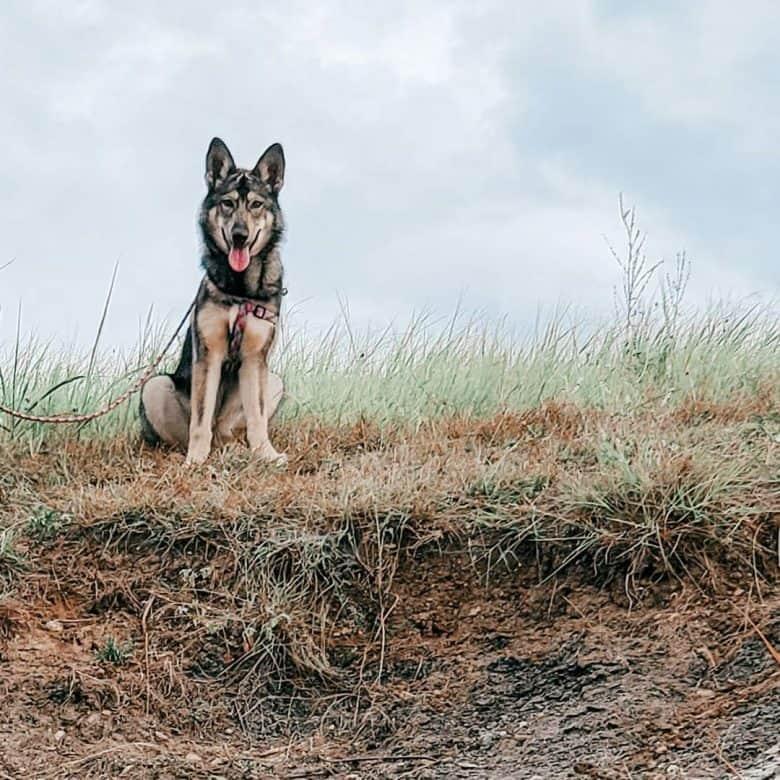 Meet the Alaskan Noble Companion Dog