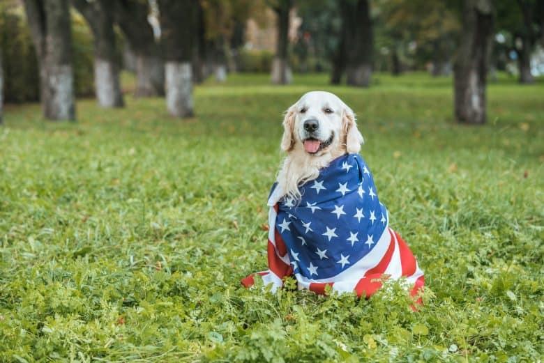 Meet the American Golden Retriever