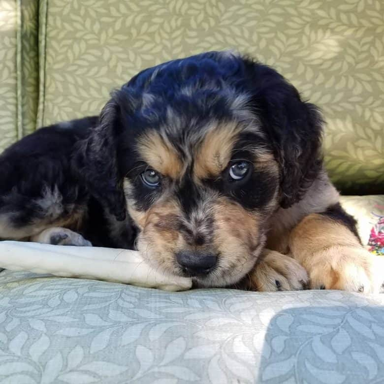 Meet the Australian Shepherd Retriever mix puppy
