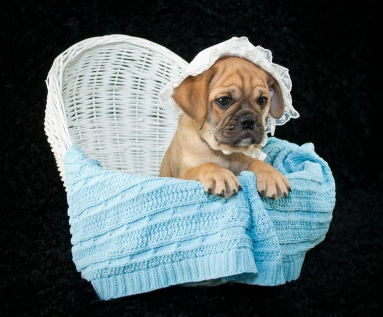 Beabull puppy sitting in a bassinet