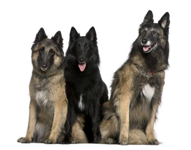 Meet the Belgian Tervuren and Belgian Sheepdog