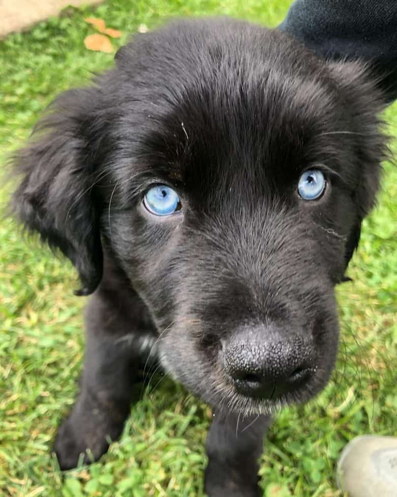A black Aussie Golden mix puppy with blue eyes