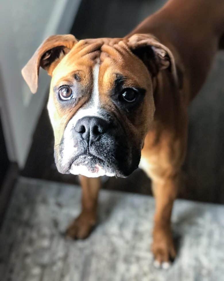Meet the Boxer Bulldog