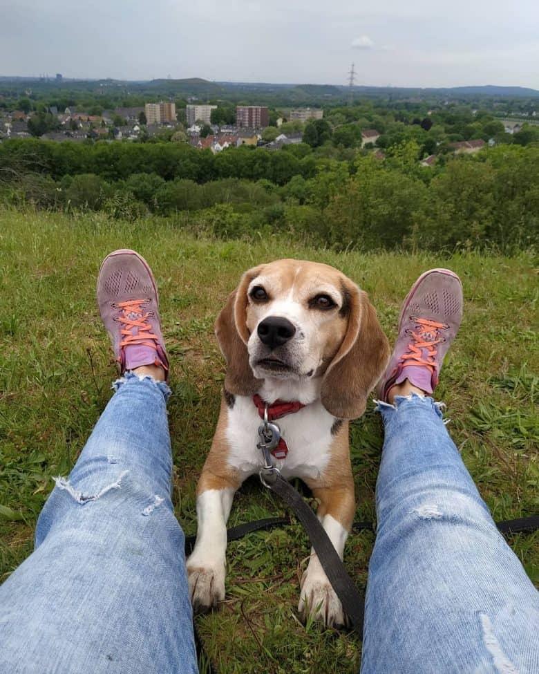 Meet Carlos, the Pocket Beagle