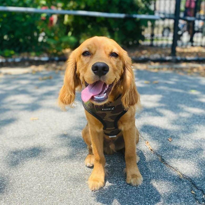 Meet Boone, the Cavalier King Charles Spaniel & Golden Retriever mix