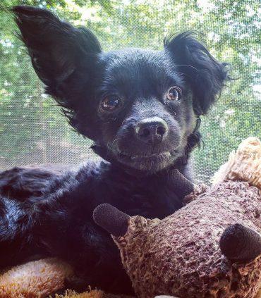 Meet Mason, the Papillon Chihuahua mix
