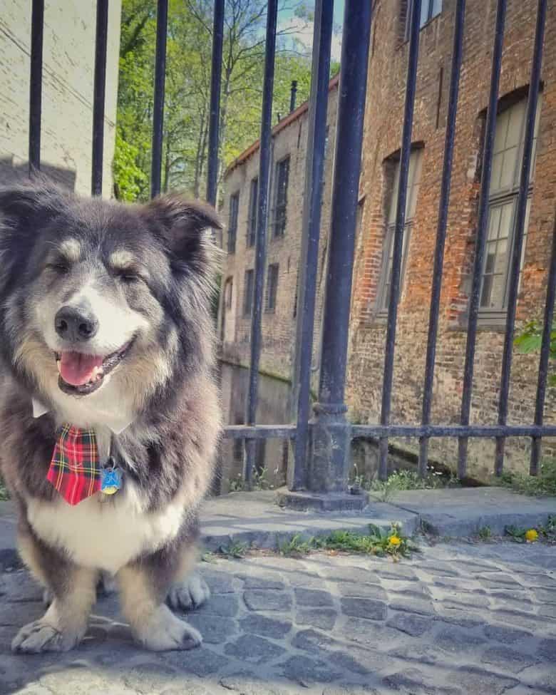 Meet the Malamute Corgi mix dog