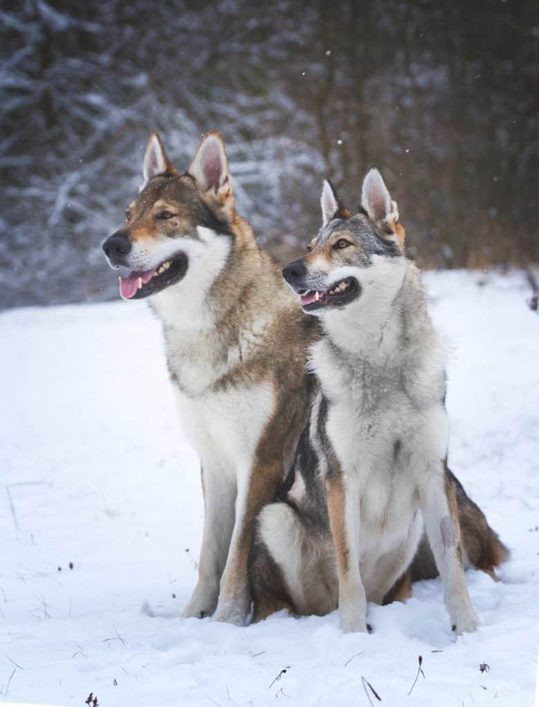 Meet the Czechoslovakian Wolfdog