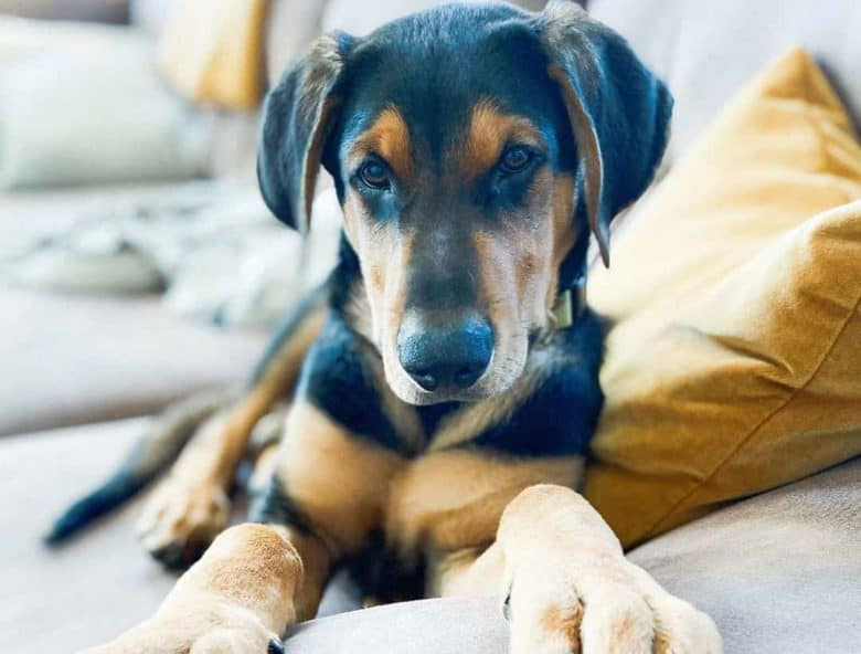 Doberman Shepherd dog lying on the couch