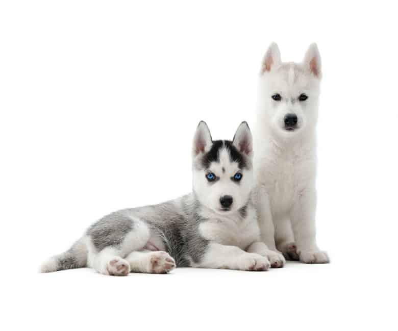 Meet the Siberian Husky puppies