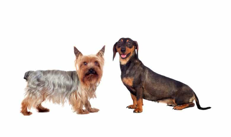 Meet the Dachshund and a Yorkshire Terrier mix