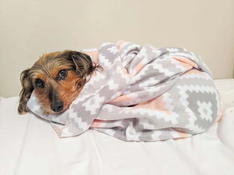 A Dorkie getting snuggly with its blanket
