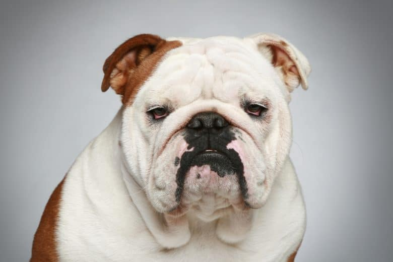 Meet the cute English bulldog